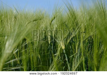 Green barley plant on a agricultural field. Summer season background.