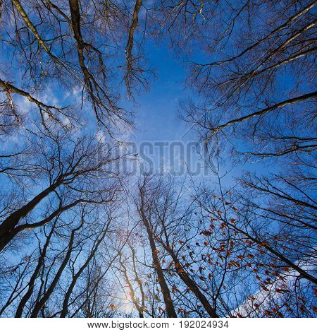 Bare trees in the autumn forest, a view from the bottom upward