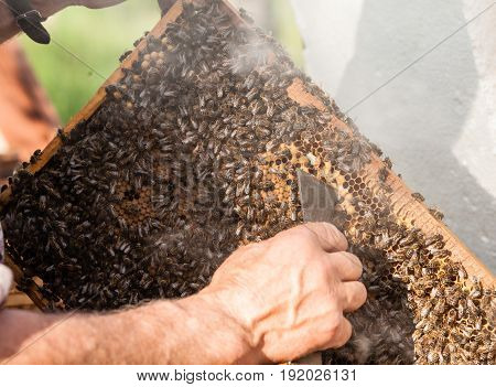 Beekeeper holding the honey comb with bees