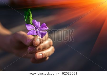 Hand gives a wild flower with love at sunset. Sympathy friendly gesture.