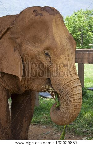 Adult female Asian elephant in Chiang Mai Thailand.