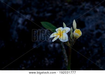 Delicate white and yellow frangipani flower moist with morning dew against dark background.