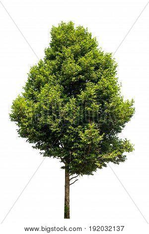 tree isolated tree on white background .