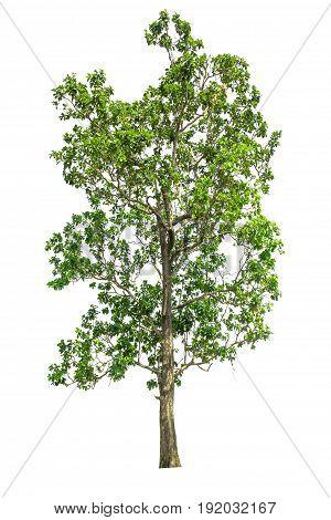 tree isolated tree on white background