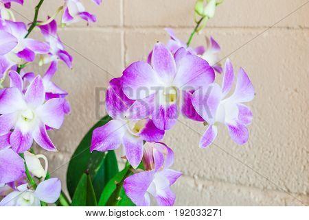 Closeup to Light Purple Orchid Flower on Concrete Brick Wall [Orchidaceae]