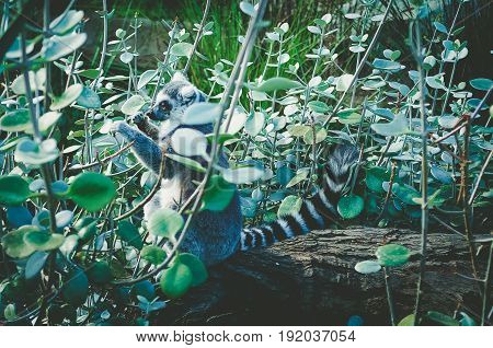 Ring Tailed Lemur Sitting Among Green Vegetation.