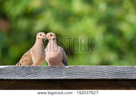 Pair of Mourning doves (Zenaida macroura) perched on a fence. Natural green background with copy space.