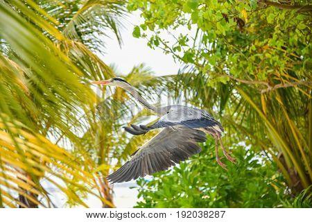 Egret flying on the beach in ADAARAN Island,Maldives
