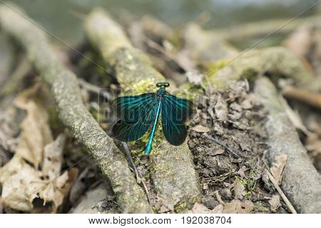 View on a Beautiful demoiselle in the Forest. Close-up of a blue Dragonfly at the Lake. Dragonflies (Calopteryx virgo). A Dragonfly sits on a Branch.