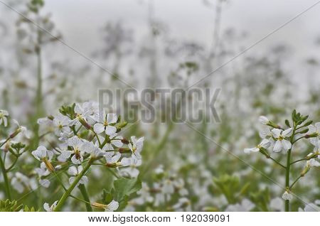 Closeup of flowers with white little delicate blossoms and blurred background