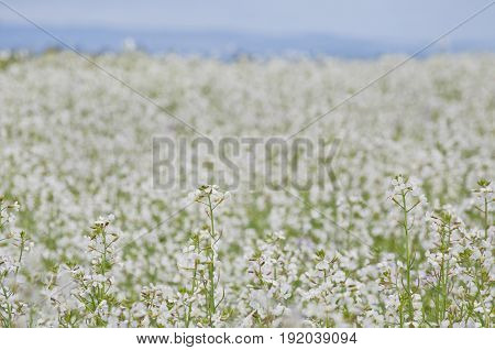 Background Meadow of white  flowers with blue sky