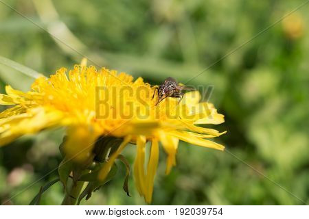 The fly is sitting on a dandelion closeup