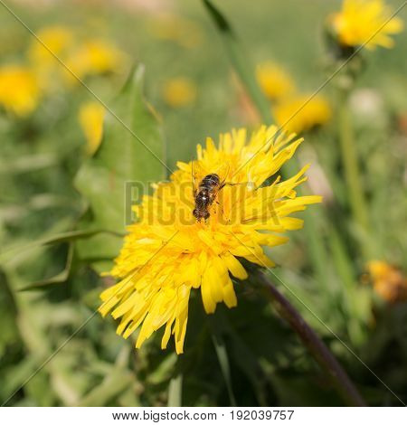 Fly in the meadow with dandelions in the spring