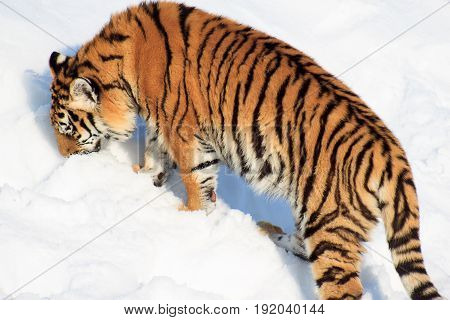 The wild Siberian tiger looks for its prey. Animals wildlife.