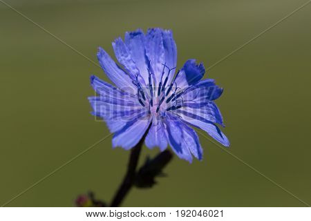 Details Of Blueweed Bloom (cichorium Intybus) With Smooth Background