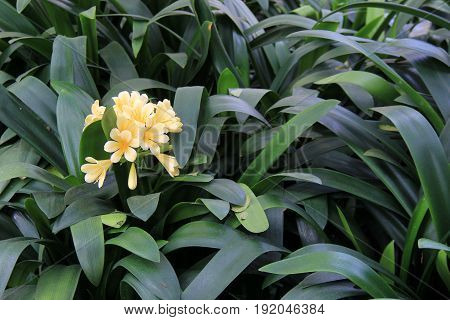 Lush green leaves with exotic orchids in the color of a soft,buttery yellow