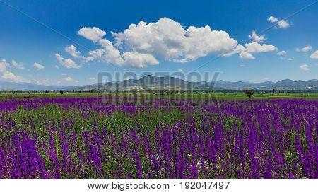 beautiful purple flowers in the fields & spring