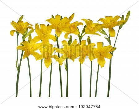 Yellow flowers daylily isolated on white background.