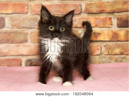 Long haired tuxedo kitten with long white whiskers standing on a pink blanket looking slightly to viewers right with an inquisitive look about it. Brick wall background.