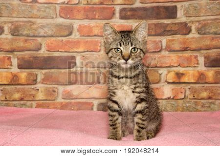 Black and brown tabby kitten sitting prim and proper on a pink blanket looking directly at viewer. Brick wall background. Copy space.