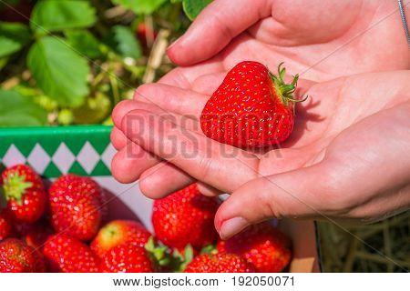 Fresh picked strawberrie helds in open hands.