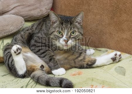 Gray tabby cat with green eyes sitting in a funny pose spreading paws and looking into the camera