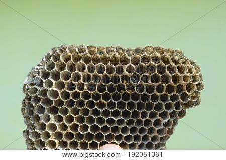 Hornet's Nest Is Polist With Honey Reserves In Honeycombs. Vespiary