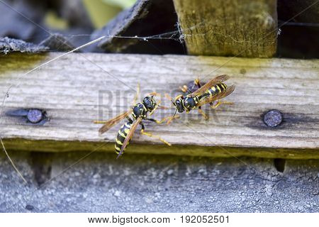 Two Wasps Polists Sit Opposite Each Other In A Shed.