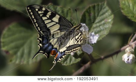 A Swallowtail Butterfly (Papilio machaon) at RSPB Strumpshaw Fen.