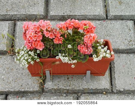 Red, white and pink geraniums with sweet alyssums in the pots, on the retaining wall