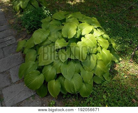 Decorative Hosta leaves on the lawn near the footpath in the garden