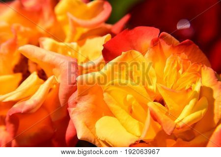 Background made of beautiful variegated orange roses
