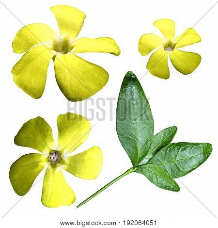 Flower yellow on a white isolated background with clipping path. Closeup. No shadows. View from above. Side view. Green leaves. Nature.