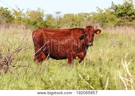 The Red-haired Cow Is Standing On A Meadow Pasture And Looks Into The Camera. Photo In Full Length