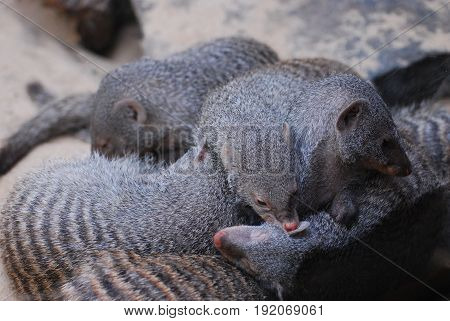 Banded mongooses in a large pig pile.