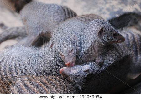 Cute large pile of striped dwarf mongooses.