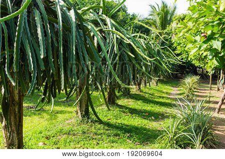Dragons Fruit, Pitahaya Fruit