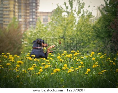 Funny dog catches a butterfly. Green grass flowers dandelions. Miniature Pinscher funny preys on insects
