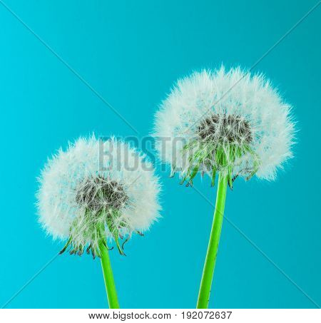 Dandelions on colorful background. card, cover and deco