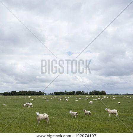 sheep graze in green grassy meadow near Emmeloord in dutch noordoostpolder which is former sea turned into land