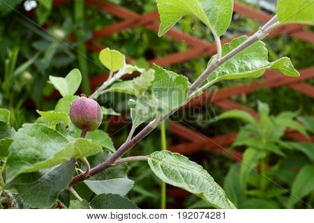 A Young Fruit Develops On The Branch Of A Braeburn Apple Tree