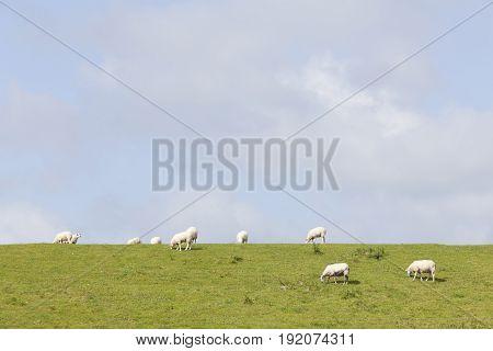 sheep graze on grassy dike near leeuwarden in the netherlands on sunny day in Friesland