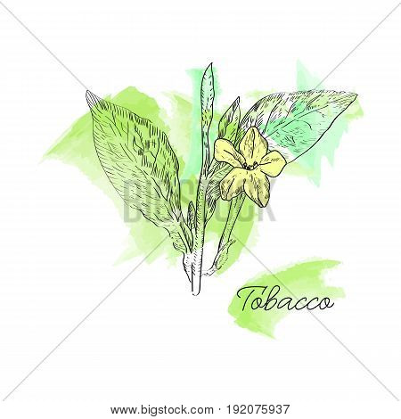 Vector Drawn Tobacco Leaves With Flowers On Watercolor Background In A Sketch Style. Botanical Illus