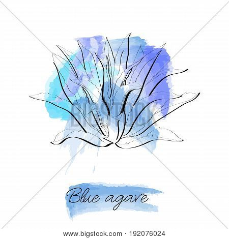 Blue Agave Hand Drawn Illustration In Sketch Style On Watercolor Background. Main Tequila Ingredient