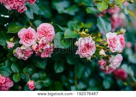 Pink Roses Blooming In The Garden. Pink Roses Blooming In The Garden