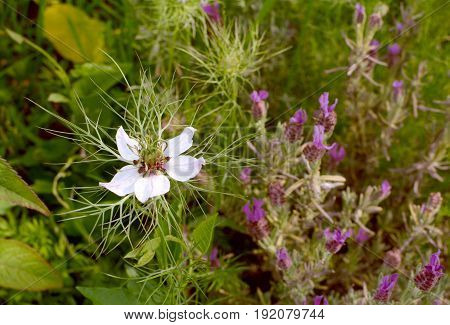 White Love-in-a-mist Flower With Frondy Foliage