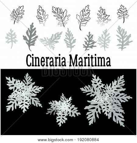 Set of Nature Elements, Leaves of Cineraria Maritima, Beautiful Silver Plant Isolated on White and Black Background, Color and Contour Versions. Vector