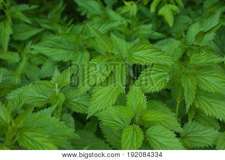 Green fresh nettle background. Stinging nettle concept design