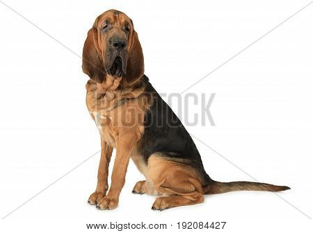 Portrait of thoroughbred Bloodhound dog on a white background
