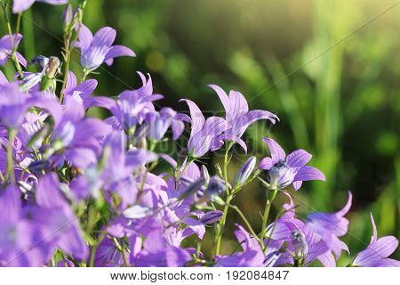 Group of Campanula patula spreading bellflower in bloom on the meadow .